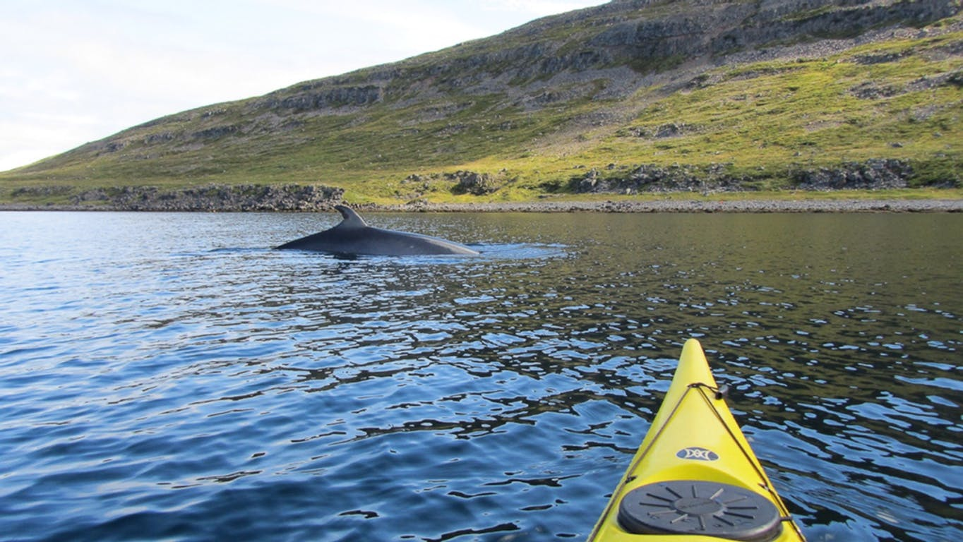 whale watching adventures in Iceland