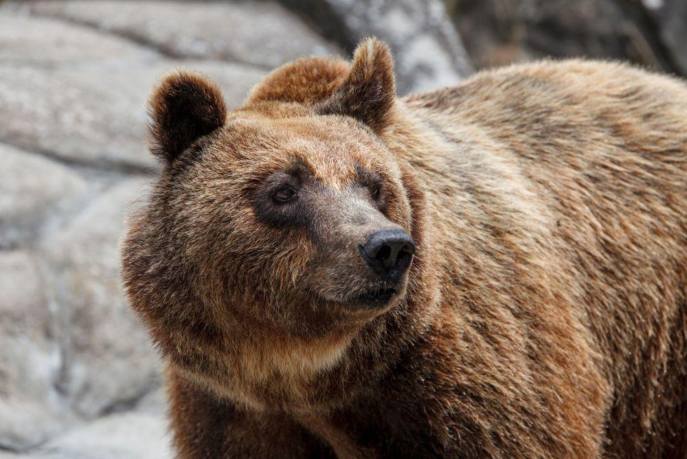 rewilding bears in Greece